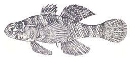 Image of <i>Butis koilomatodon</i> (Bleeker 1849)