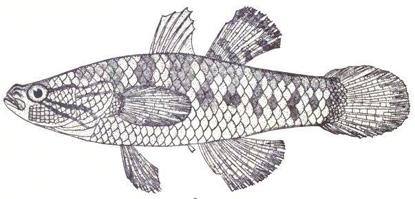 Image of Snakehead Gudgeon
