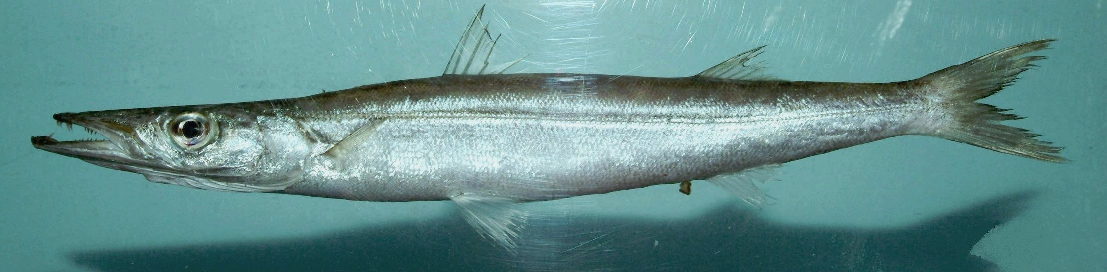 Image of Barracuda