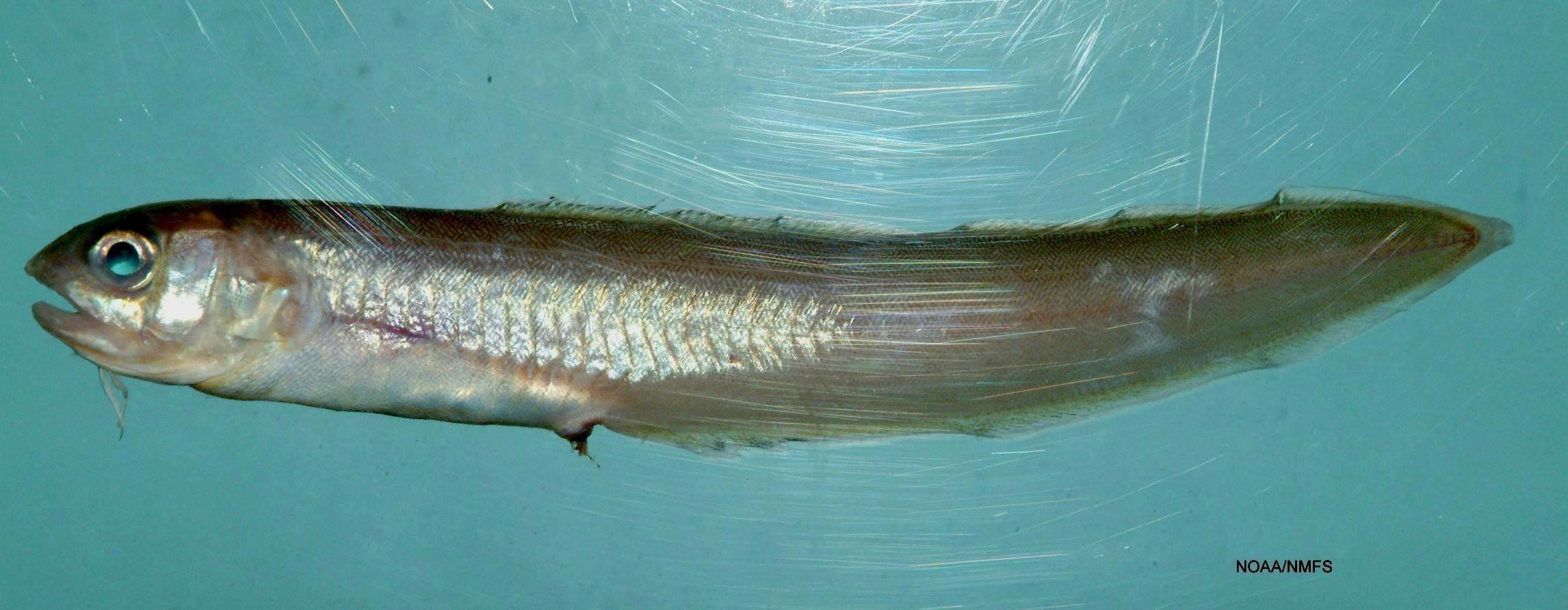Image of Band Cusk-eel