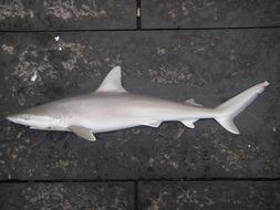 Image of Blacknose Shark
