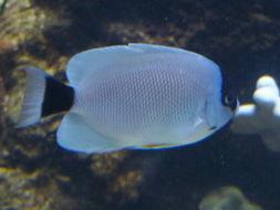 Image of Masked Angel Fish