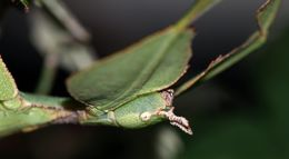 Image of Seychelles leaf insect