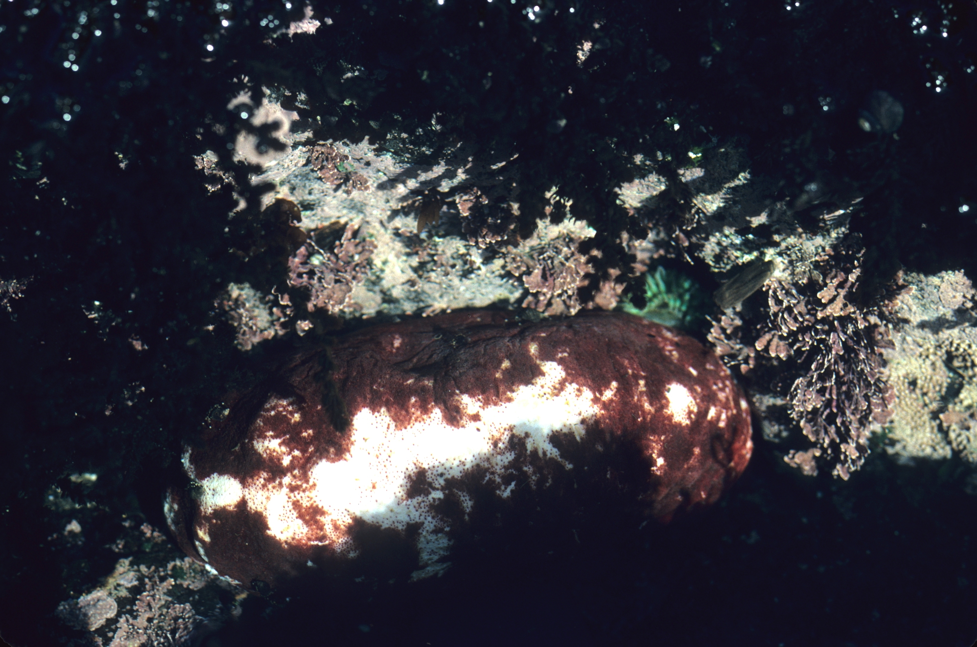 Image of giant Pacific chiton