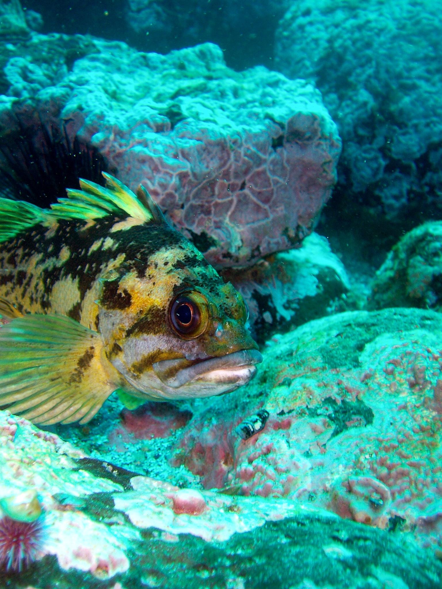 Image of Black-and-yellow rockfish