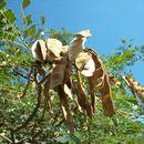 Image of <i>Albizia adianthifolia</i> (Schum.) W. Wight