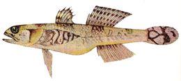 Image of <i>Schismatogobius insignus</i> (Herre 1927)