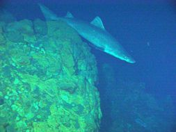 Image of Herbst's Nurse Shark