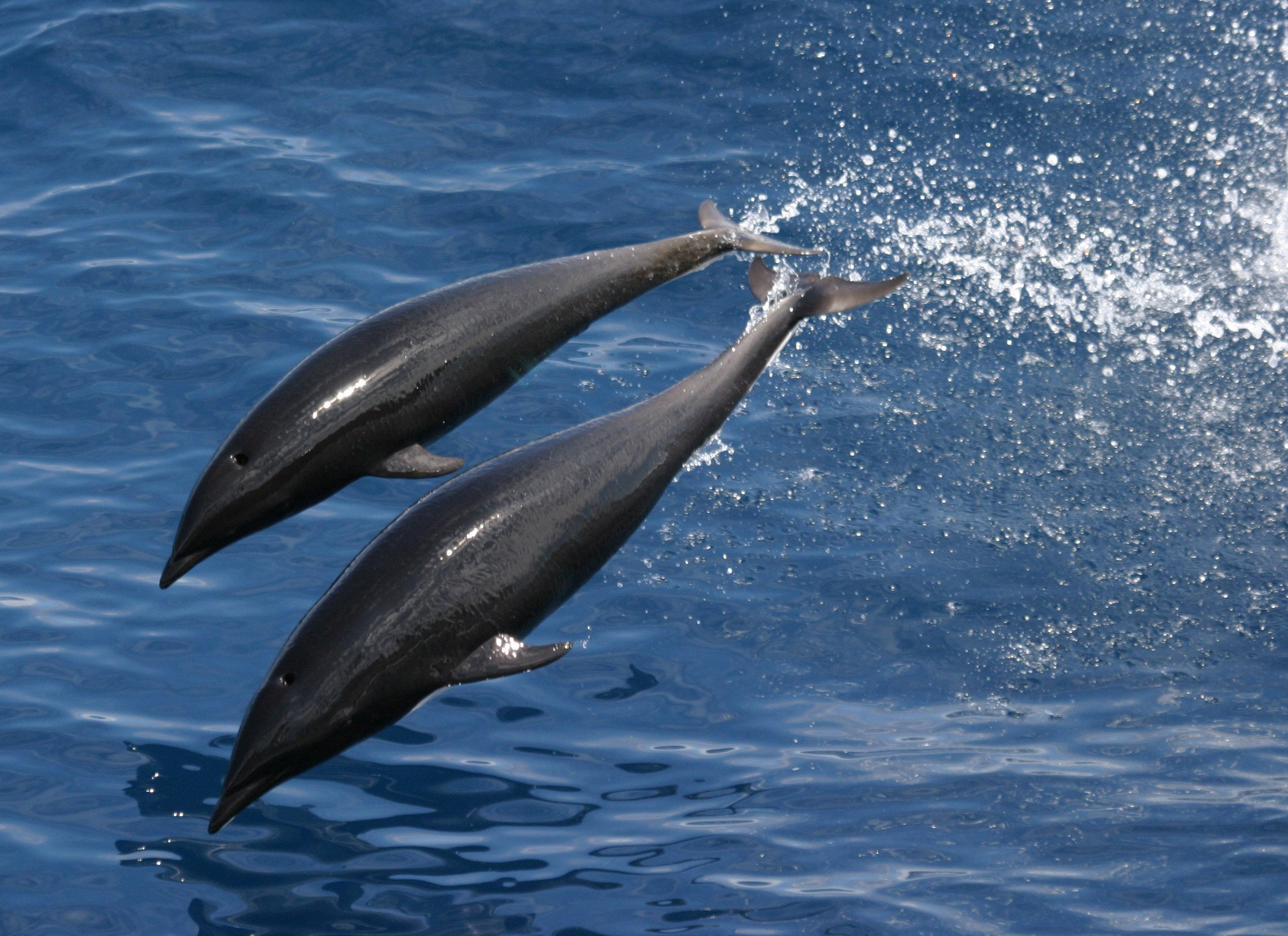 Image of Northern Right Whale Dolphin