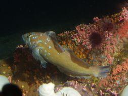 Image of Kelp greenling