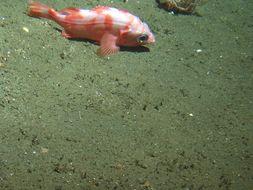 Image of Splitnose rockfish