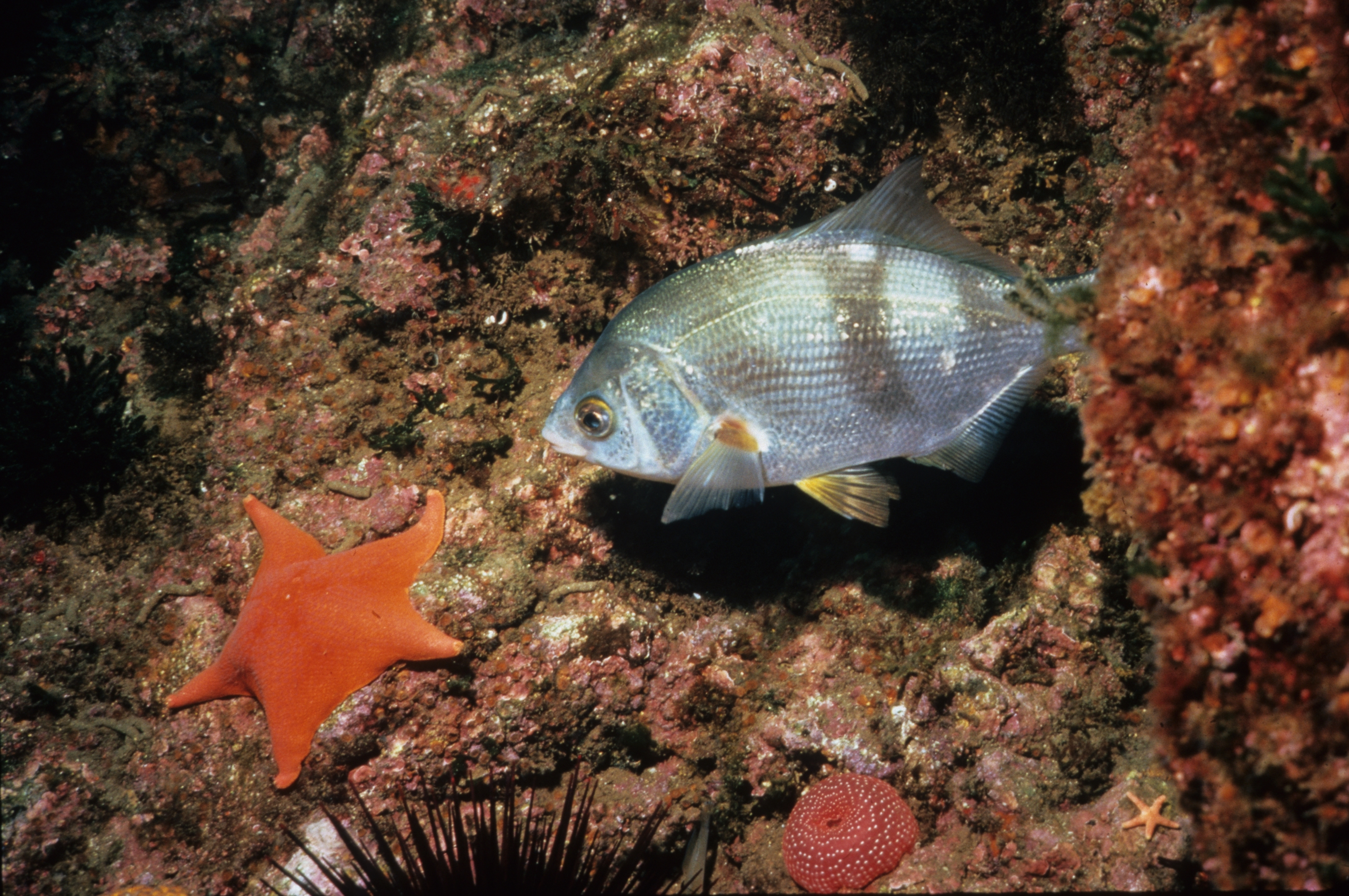 Image of striped seaperch