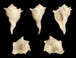 Image of <i>Sinistrofulgur perversum</i> (Linnaeus 1758)