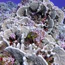 Image of Pavona coral