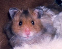Image of Golden Hamster