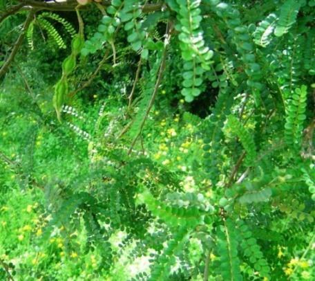 Image of <i>Sophora cassioides</i>
