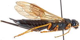 Image of <i>Sirex cyaneus</i> Fabricius