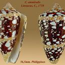 Image of <i>Conus ammiralis</i> Linnaeus 1758