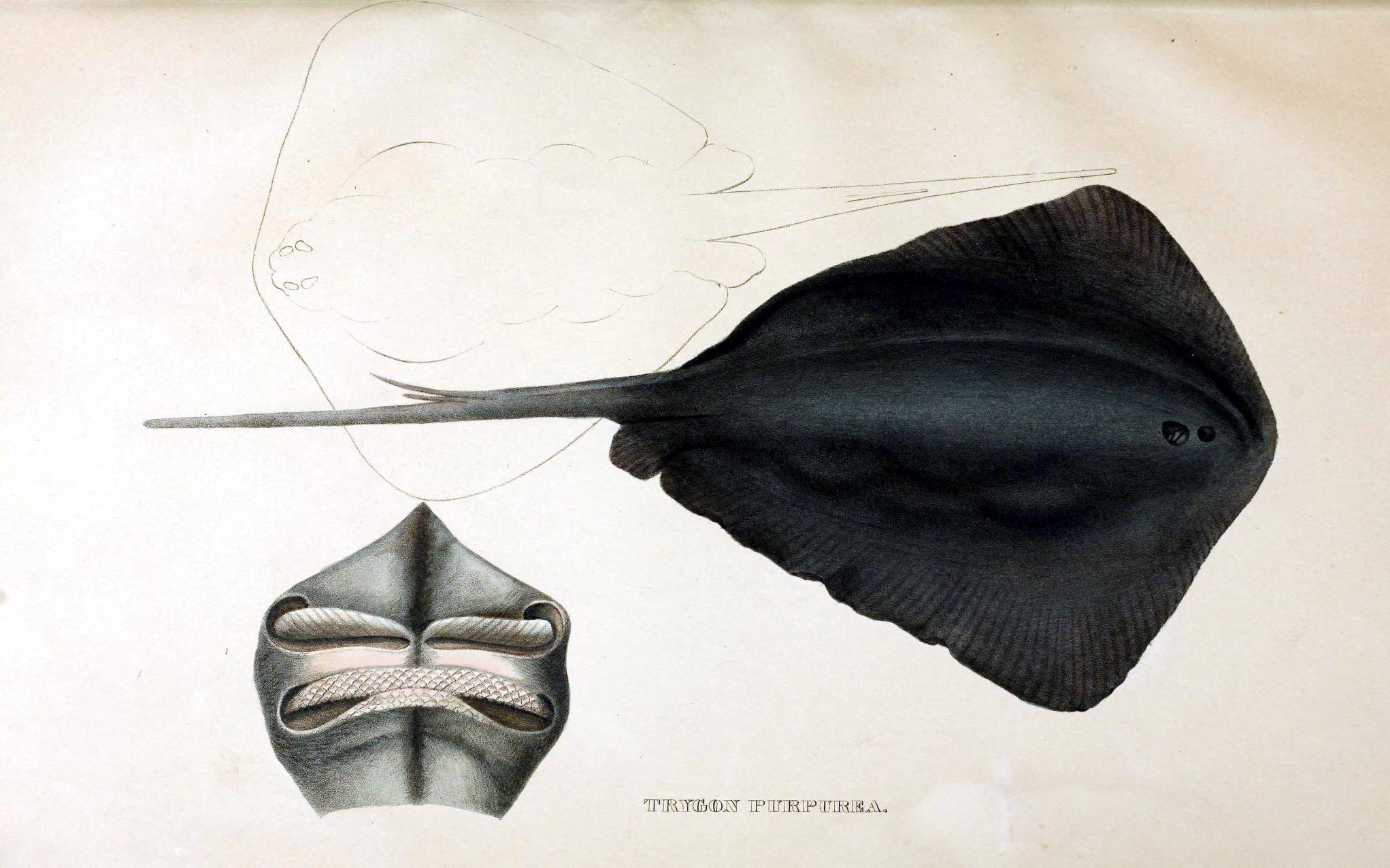 Image of Pelagic Stingray
