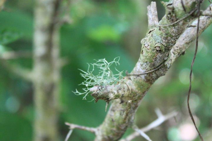 Image of cartilage lichen