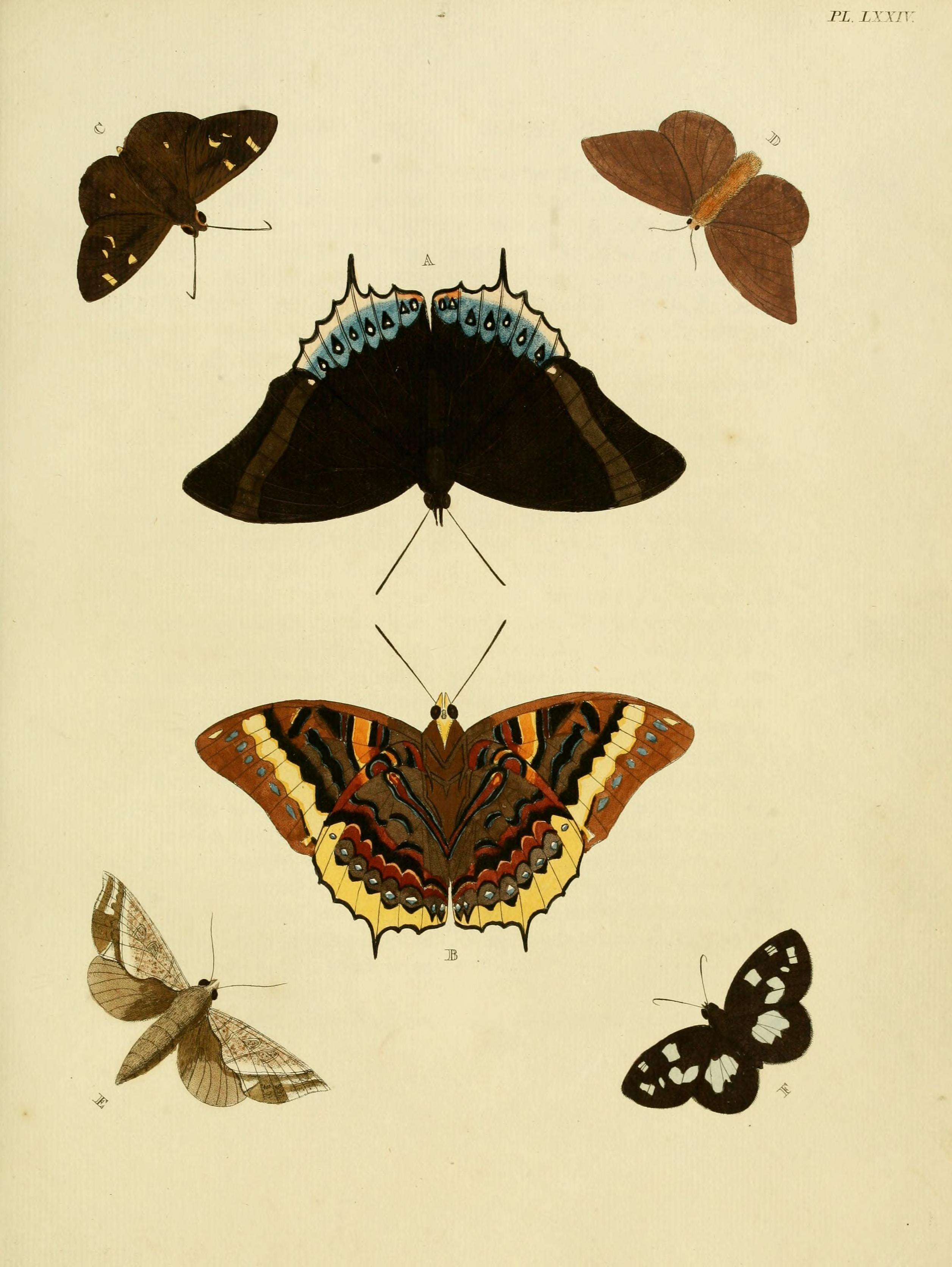 Image of <i>Udaspes folus</i> Cramer 1775