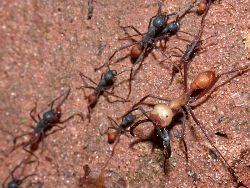 Image of Army ant