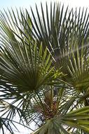 Image of Carana palm