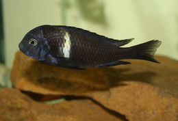 Image of white-spotted cichlid