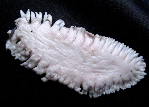 Image of White hake