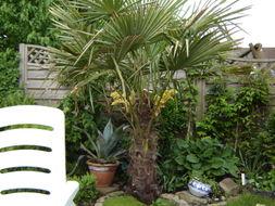 Image of Chinese windmill palm