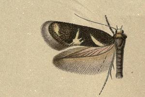 Image of <i>Stephensia cedronellae</i> (Walsingham 1908) Walsingham 1908
