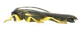 Image of <i>Oberea linearis</i> (Linné 1761)