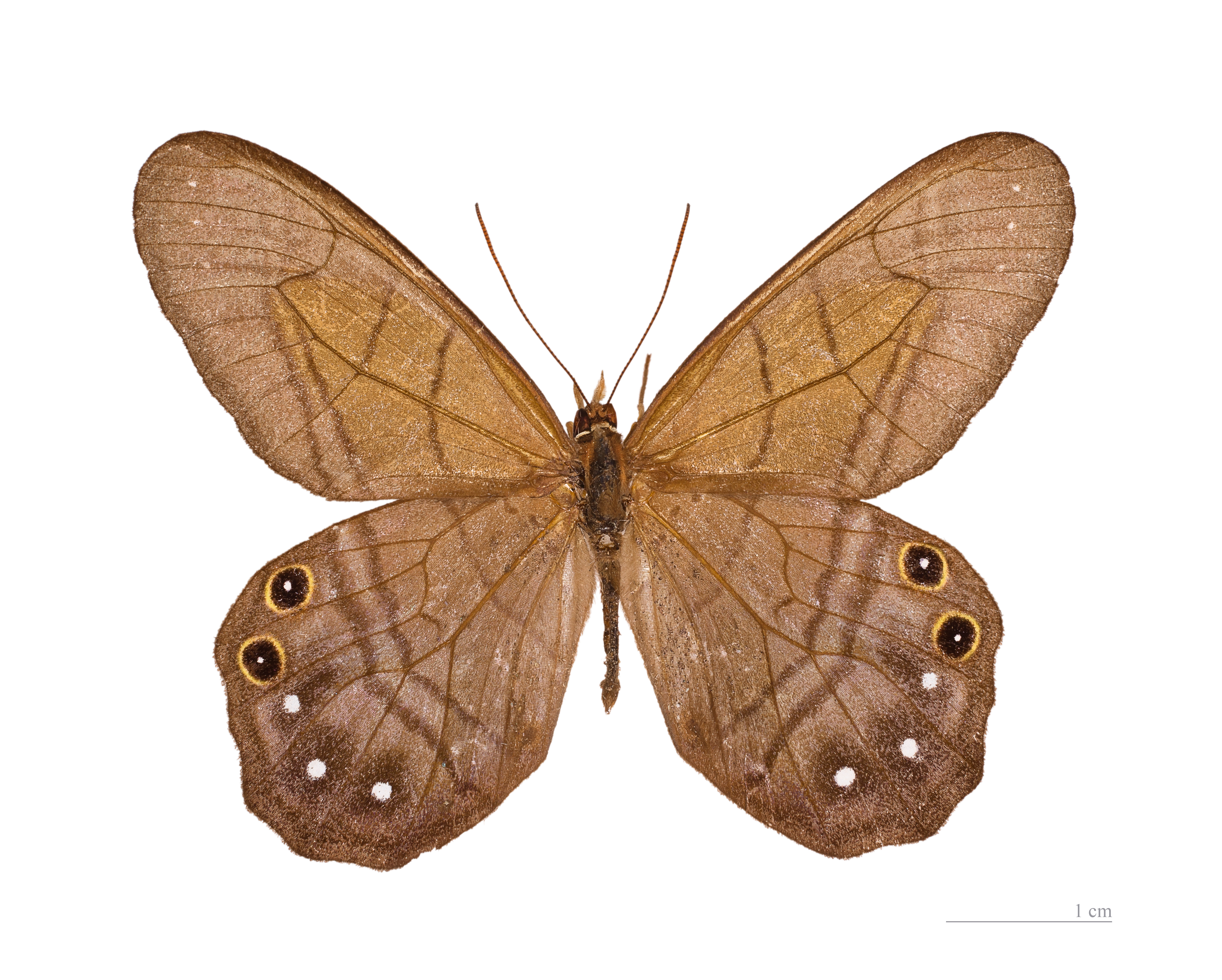 Image of <i>Pierella astyoche</i> Erichson 1848