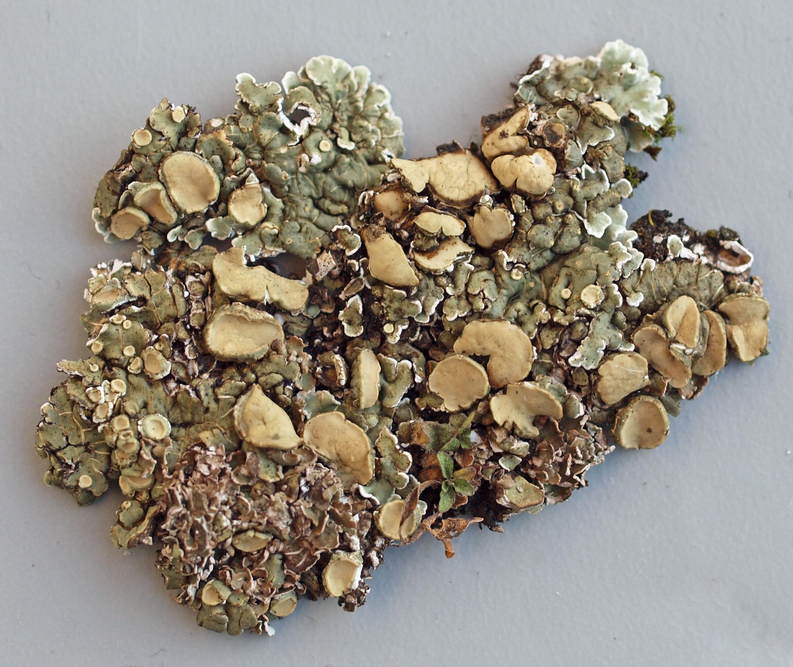 Image of rim lichen