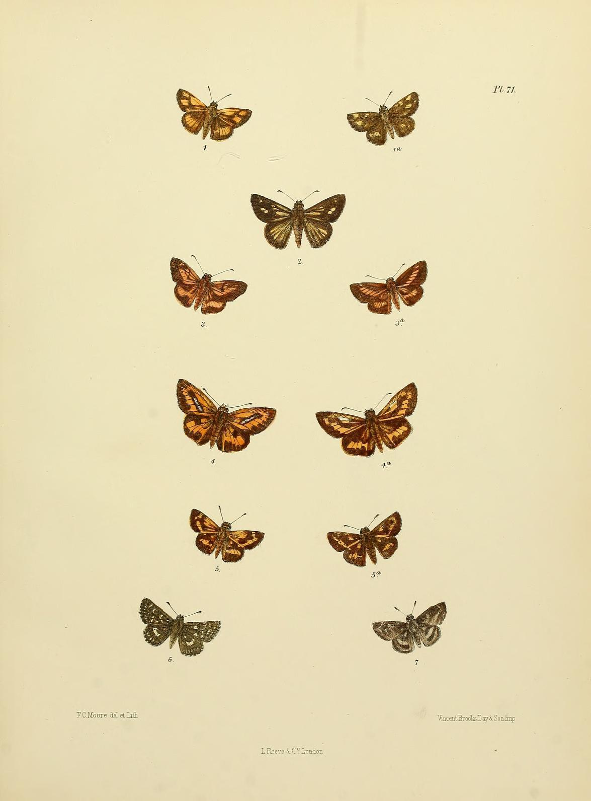 Image of <i>Telicota bambusae</i> Moore 1878