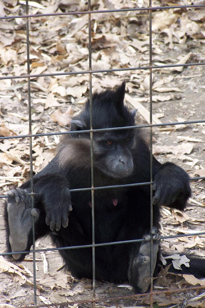 Image of Black Crested Mangabey