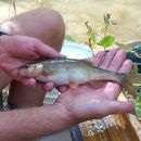 Image of Headwater Chub