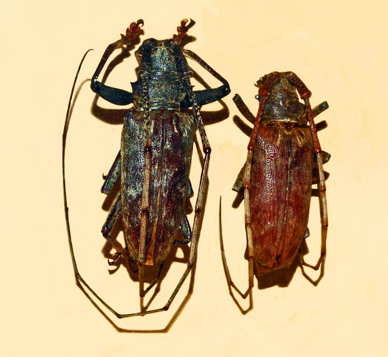 Image of <i>Acalolepta australis</i> (Boisduval 1835)