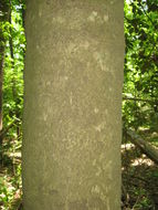 Image of American Holly