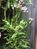 Image of <i>Myrmecophila humboldtii</i> (Rchb. fil.) Rolfe