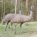 Image of flightless paleognath birds