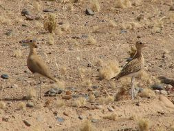 Image of Burchell's Courser