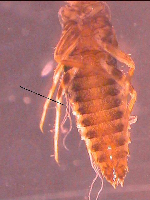 Image of pronggilled mayflies