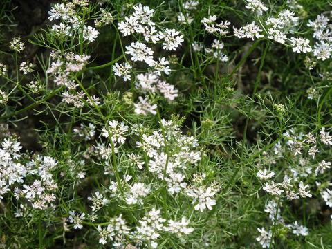 Image of coriander