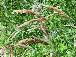 Image of reed canarygrass
