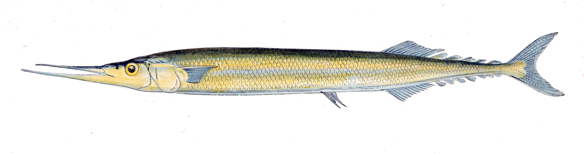 Image of Atlantic Saury