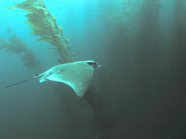 Image of Bat ray