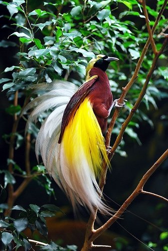 Image of Lesser Bird of Paradise