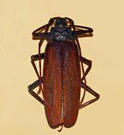 Image of <i>Macrotoma serripes</i> (Fabricius 1781)