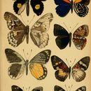Image of <i>Pseudathyma sibyllina</i> Staudinger 1891